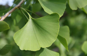 Ginkgo leaf on tree.