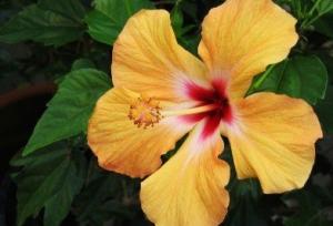 Yellow hibiscus flower.