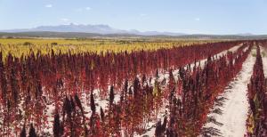 Quinoa plant in a field.