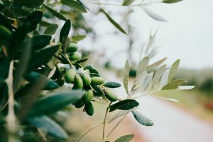 Olives hanging on an olive tree.