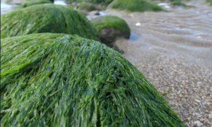 Seaweed at a beach.