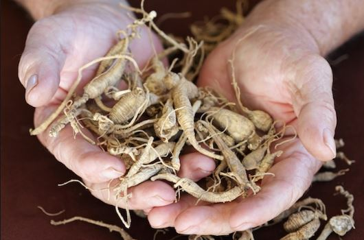 Hands holding ginseng.